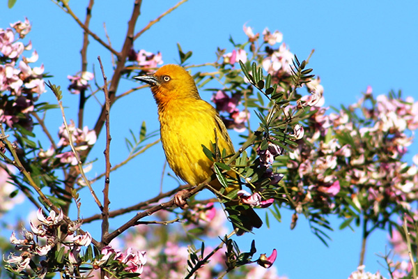 piekenierskloof-resort-birding